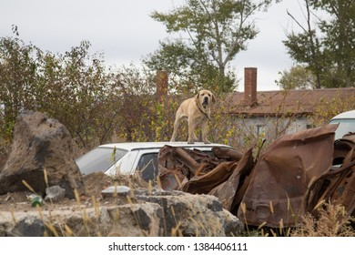 watchdog stand on car roof  of a junk yard