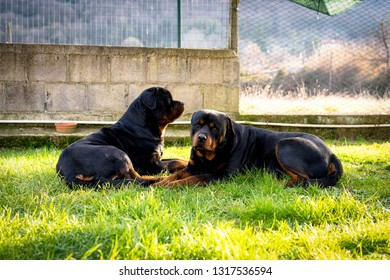 Watchdogs in the garden. Two cute rottweilers guarding their territory