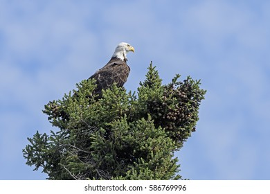 Watchful Bald Eagle in a Tree on Ottertrack Lake in Quetico Provincial Park in Ontario