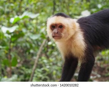 Watchful Capuchin Monkey in Tree