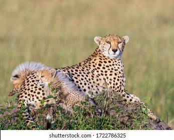 Watchful Cheetah female with two curious cubs