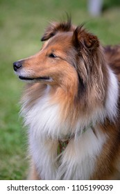 watchful collie dog