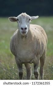 Watchful Ewe in Pasture Katahdin Sheep