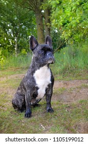 watchful French Bulldog