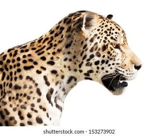 Watchful jaguar waiting for his prey.