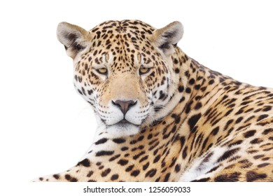 Watchful leopard isolated on white background