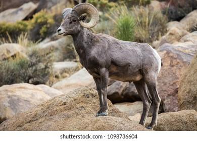 Watchful male (ram) big horn sheep in Joshua Tree National Park in California USA.