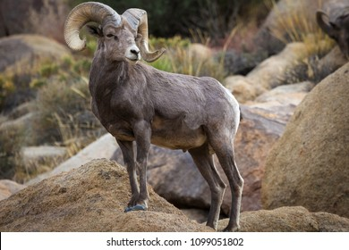 Watchful male (ram) big horn sheep