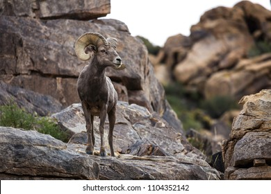 Watchful male (ram) big horn sheep in Joshua Tree National Park in California USA.