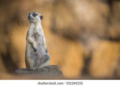 Closeup Adult Meerkat Monitors Territory Birds Stock Photo Edit Now