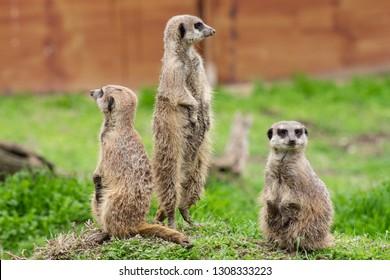 meerkat Images, Stock Photos & Vectors | Shutterstock Symbols Of Watchfulness