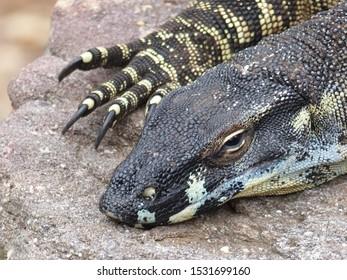 Watchful monitor lizard lying in the sun