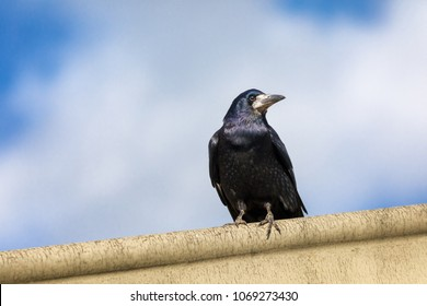 Watchful rook, Corvus frugilegus, perched on a ledge against a summer sky.