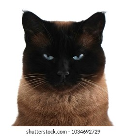 watchful siamese cat portrait with narrowed eyes and menacing look isolated on white
