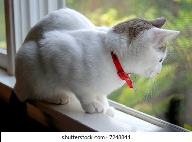 Watchful white cat in window