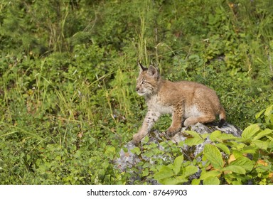 Watchful young lynx