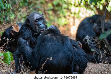Watching chimpanzees in the national park of Gombe
