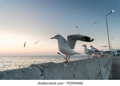 Watching and feeding seagulls at Bangpoo, Thailand. Winter season at Bangpoo.