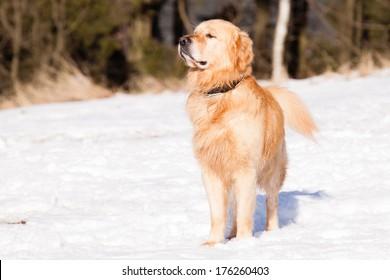 Watching Golden Retriever in winter on snow