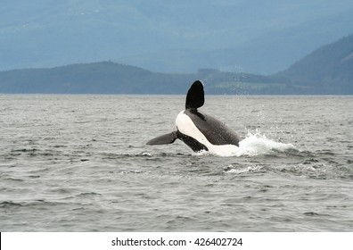 watching a killer whale (orca) breaching during whale watching tour near campbell river in Vancouver Island British Columbia, Canada.