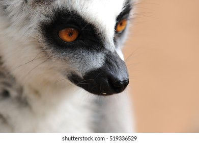 Watching lemur
