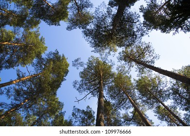 Watching on pines from ground to they treetop