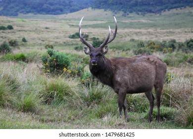 Watching sambar (Rusa unicolor) in the Horton Plains, Sri Lanka