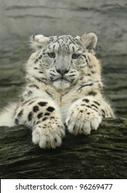 Watching. A snow leopard cub keeping an eye on what's happening from up on the rocks (Captive)