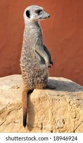 Watching suricata (meerkat) in Friguia zoo, Tunisia, Africa
