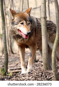 Watching  Wolf (Canis lupus)