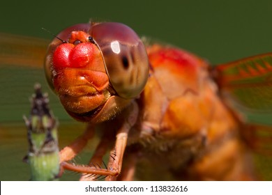 I'm Watching You.  Striking Closeup of Red Skimmer or Firecracker Dragonfly. Libellula saturata.