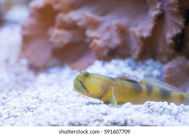 Watchman Goby Fish on seabed