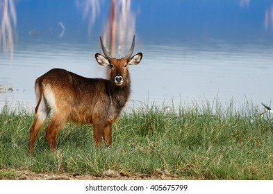 Water back antelope in Lake Nakuru National Park