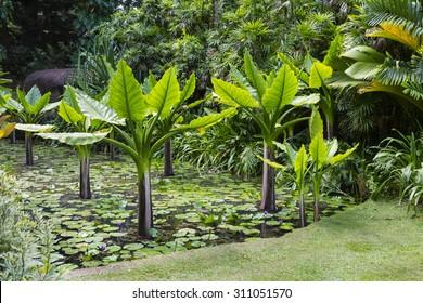 Water Banana Plants im botanischen Garten von Mahe, Seychellen