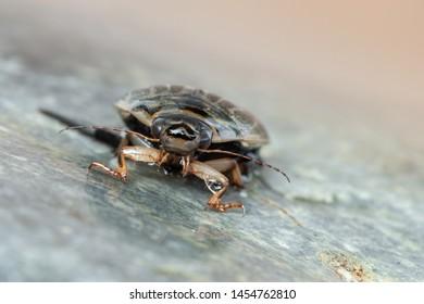 a water beetle - Acilius sulcatus