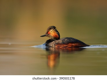 Water bird, Black-necked Grebe,Podiceps nigricollis, mature male in colorful breeding plumage on calm lake against orange and green reflections, photo taken from water level with floating hide.