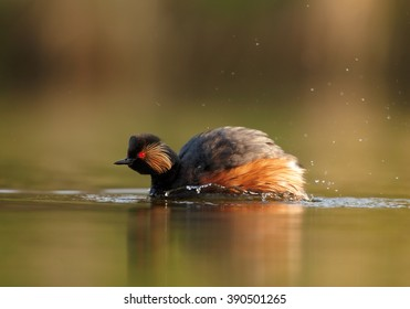 Water bird, Black-necked Grebe,Podiceps nigricollis, mature male in colorful breeding plumage, preparing for fight with other male, photo taken from water surface with floating hide.