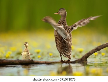 Water bird Gadwall , Anas strepera. Female with chick standing opposite each other on trunk in yellow flowering water, waving their wings in the same pose, against blurred yellow flowers and reeds.