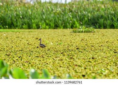 Water bird and grass In the lake
