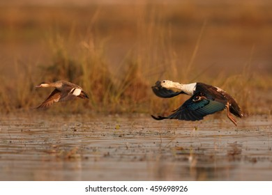 Water bird, Knob-billed Duck, Sarkidiornis melanotos flying in colorful light over evening Chobe river, Botswana, Africa.