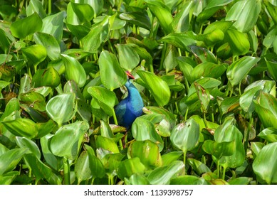 Water bird in a vegetable garden