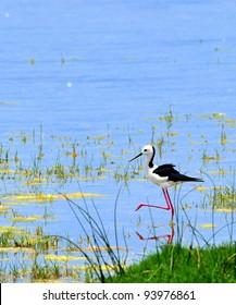 Water Bird in Wetlands of Australia