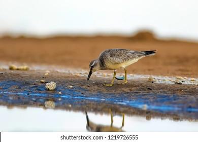 Water bird. Yellow beach background. Bird: Red Knot. Calidris canutus.