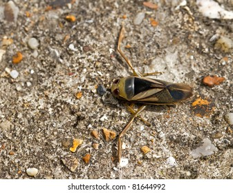 Water Boatman on path
