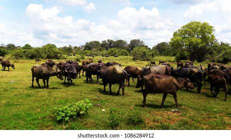 Water buffalo (Bubalus bubalis) and cattle egret.Herd  in dry zone Sri Lanka.
