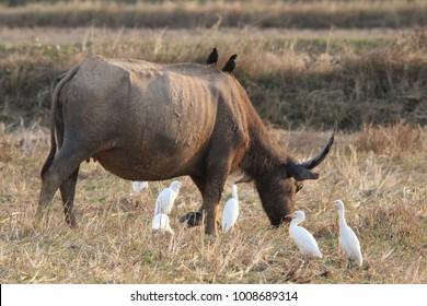 The water buffalo (Bubalus bubalis) or domestic Asian water buffalo is a large bovid originating in South Asia, Southeast Asia, and China.