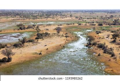 Water buffalo (Bubalus bubalis) in the Okavango delta, Botswana - Aerial shot