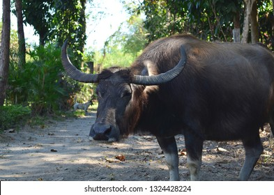 Water buffalo, Carabao in the Philippines.