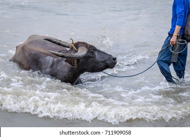 Water buffalo - Carabao in the river in the Philippines