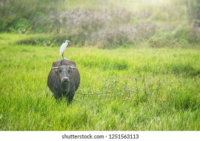 The water buffalo and cattle egret have a symbiotic relationship, and this female carabao (Bulabus bubalis) in the Philippines is standing in a grassy field with an egret on its back.